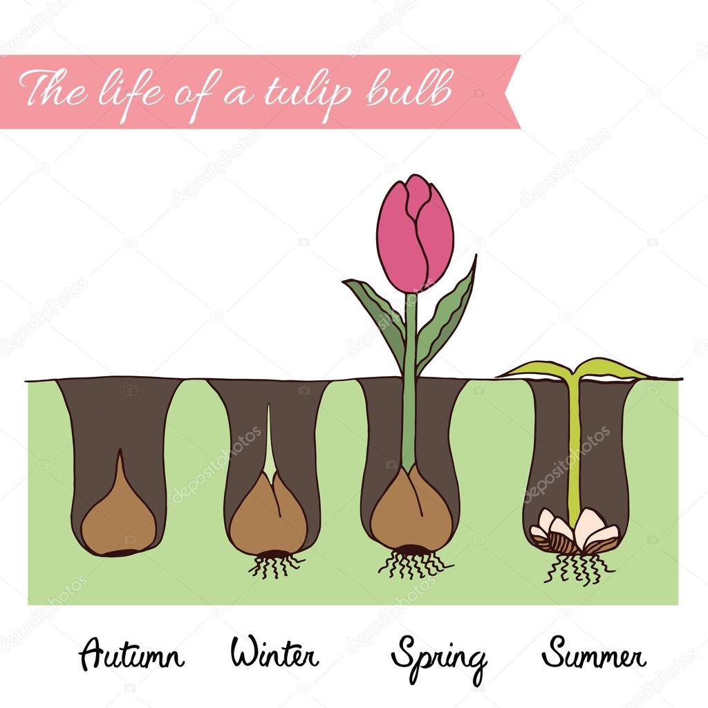 How to plant tulips.