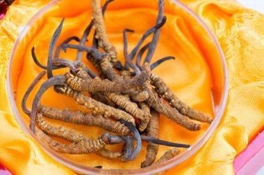 Yarsagumba Cordyceps sinesis Yartsa Gunbu used in Traditional Chinese Medicine Himalayan gold Nepal isolated in white background