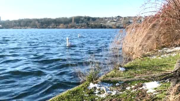 Süßwasservogel in natürlicher Umgebung. Junge Schwäne beim Schwimmen auf einem See im Grünen.