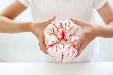 Cerebral hemispheres.  model of the human brain