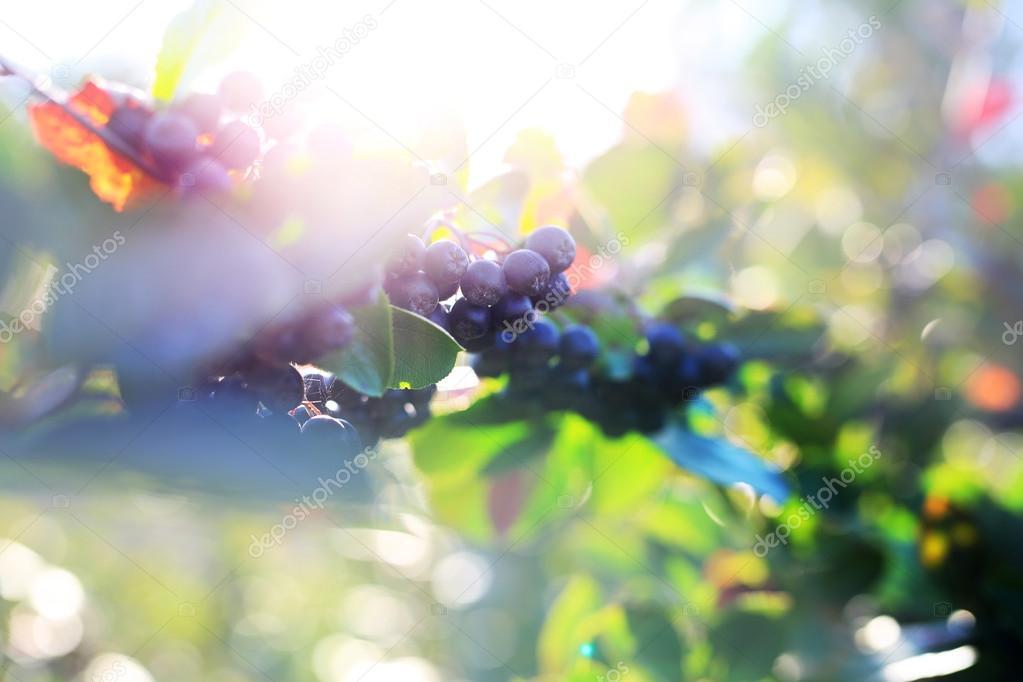 Aronia-Strauch. Aronia Beeren — Stockfoto © robertprzybysz #122735722