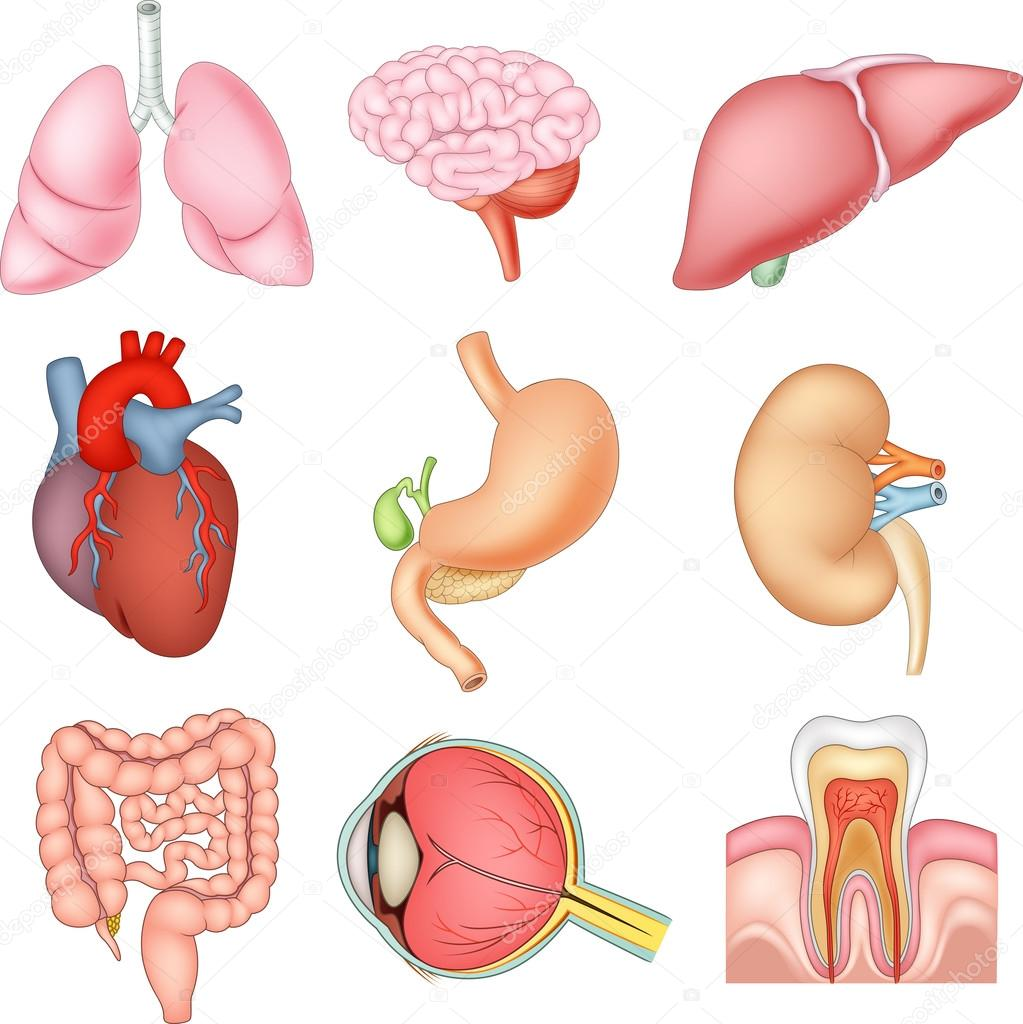 Illustration of Internal organs anatomy — Stock Vector © tigatelu ...