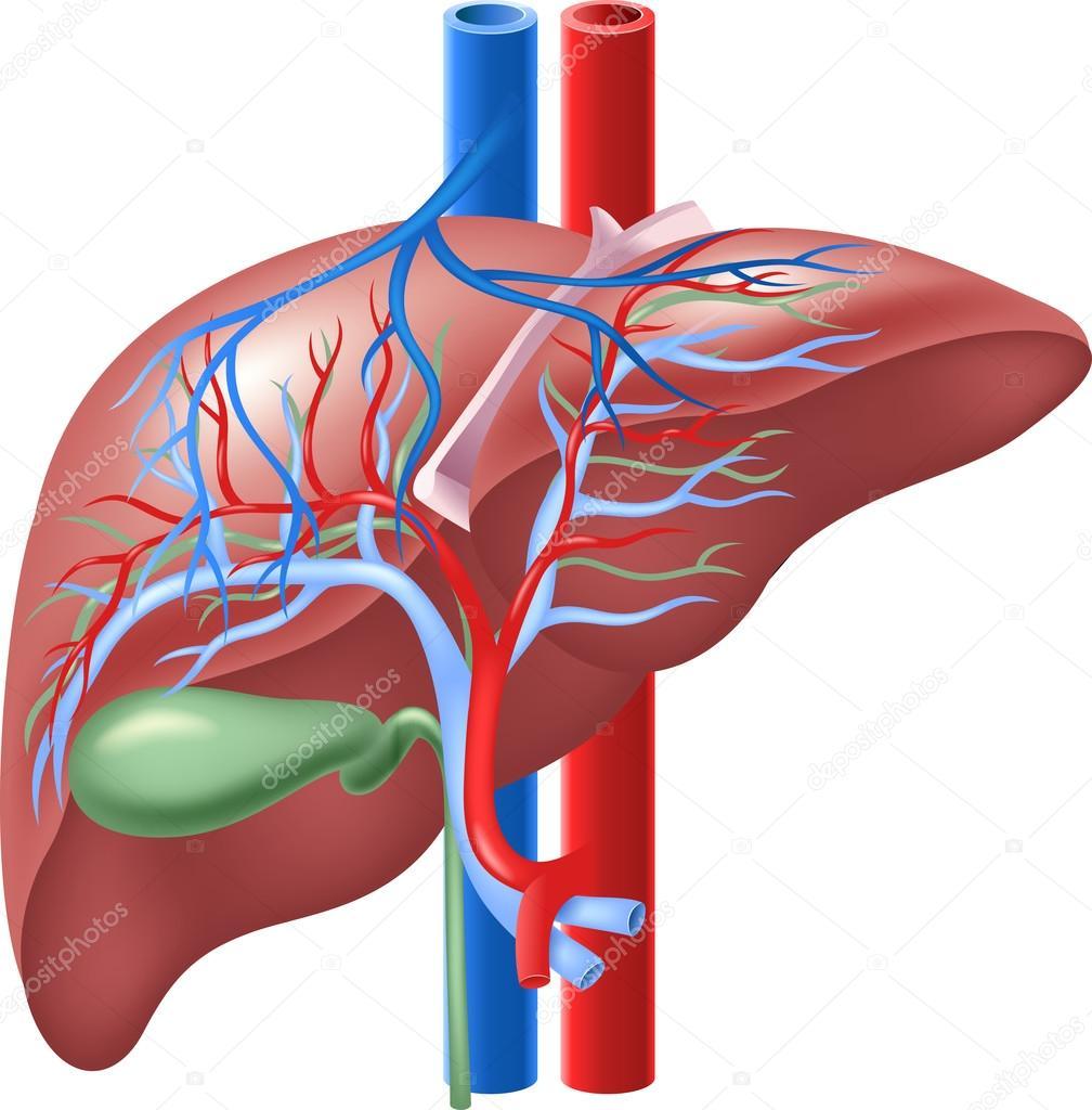 Ilustración del hígado humano interno y de la vesícula biliar ...