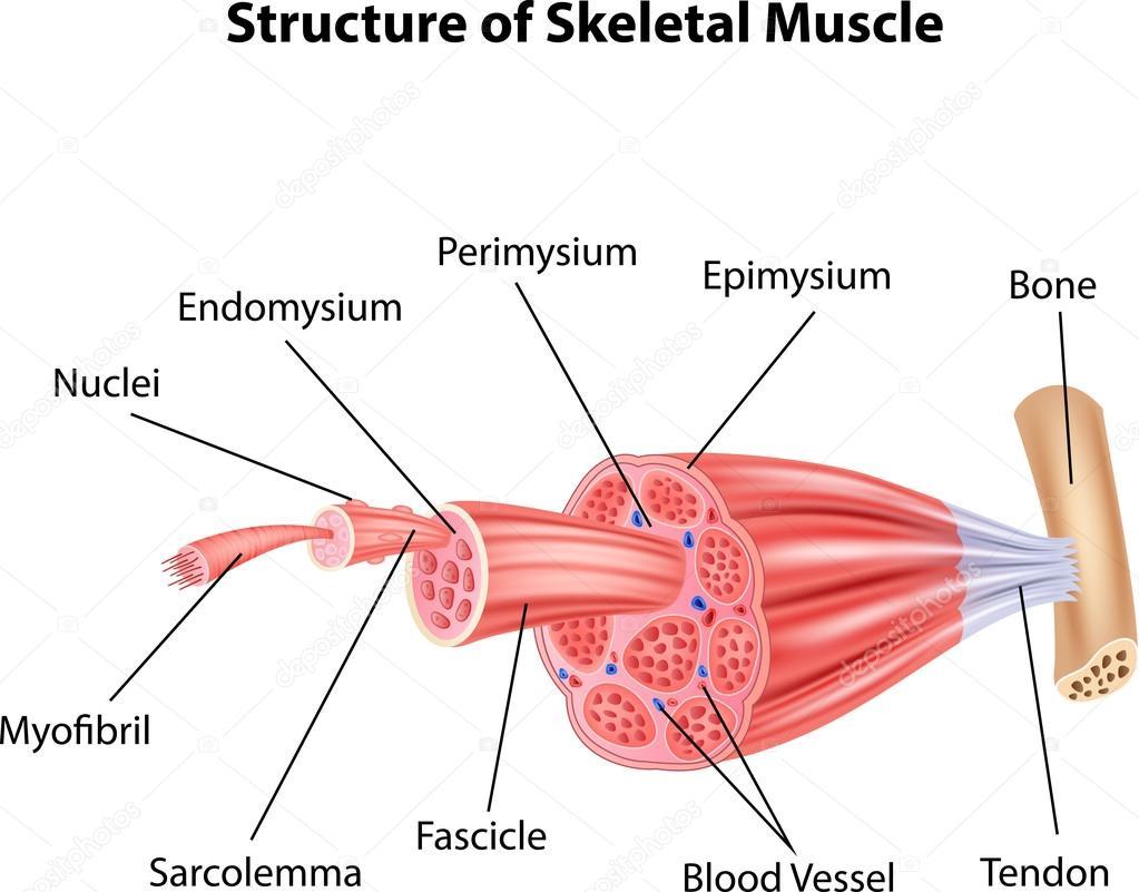 Ilustración de la estructura músculo esquelética anatomía — Vector ...
