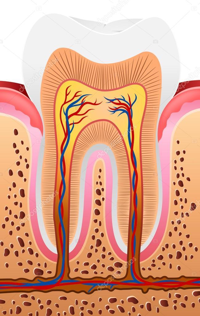 abbildung der menschlichen zahn-anatomie — Stockvektor © tigatelu ...