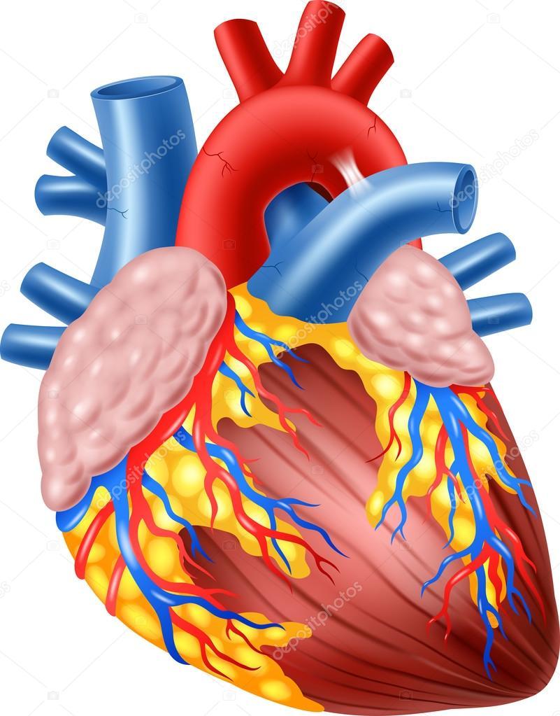 Illustration des menschlichen Herz Anatomie — Stockvektor © tigatelu ...