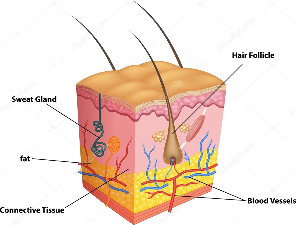 Illustration of The layers of skin and pores anatomy — Stock Vector ...