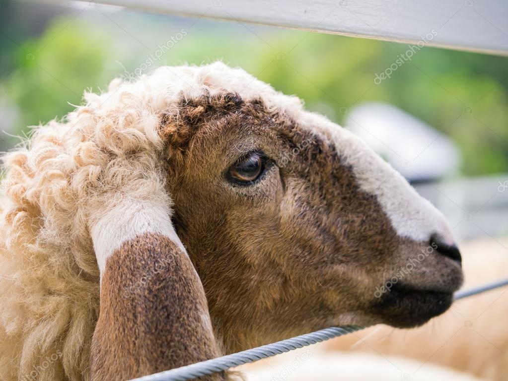 Fotos De Stock Chat9780: Cara De Oveja En La Valla De Alambre