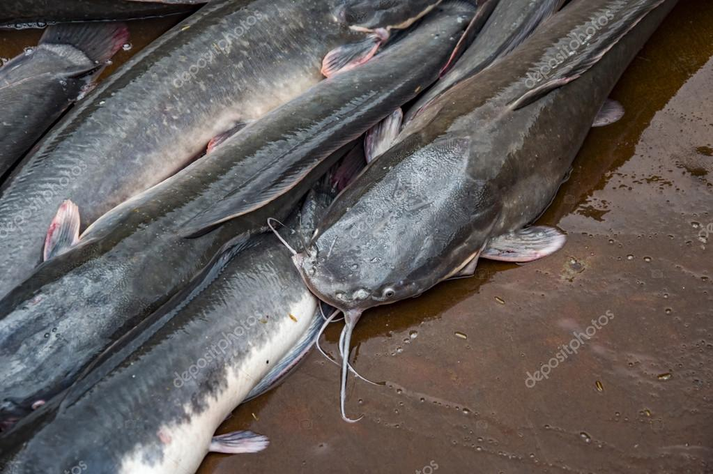 Pesce Gatto Vivo In Vendita Foto Stock Promicrostockra 79775766