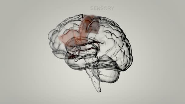 Lidský mozek a některé části