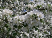 kvetoucí jabloně