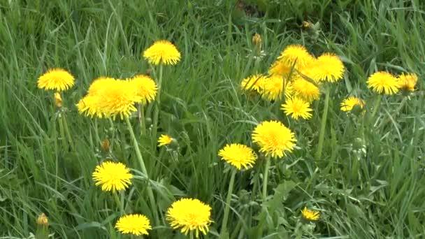 Skupina květy pampelišek na slunné louce kymácí ve větru