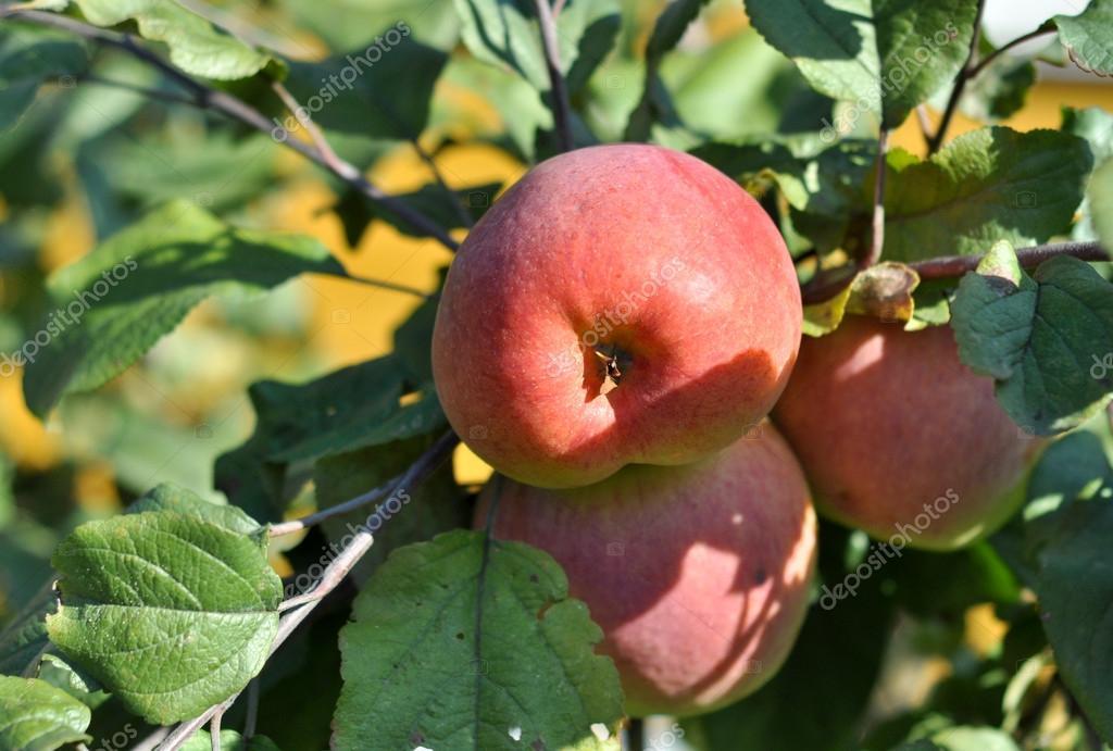 リンゴの木に熟す — ストック写...