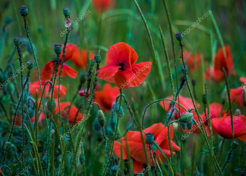 Flowers poppies field colors nature meadow green red summer plan flowers poppies field colors nature meadow green red summer plan stock photo mightylinksfo
