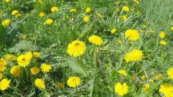 Kvetoucí žluté pampelišky na louce a včely na pampeliškách