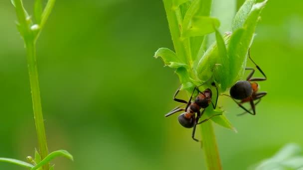 Két hangyák a fűben