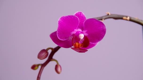 Růžová orchidej květiny