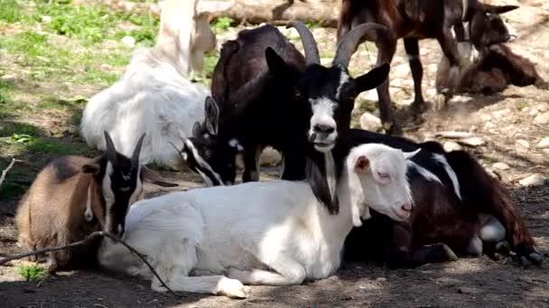 stádo koz