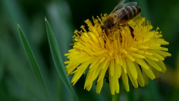 méhek a pitypang
