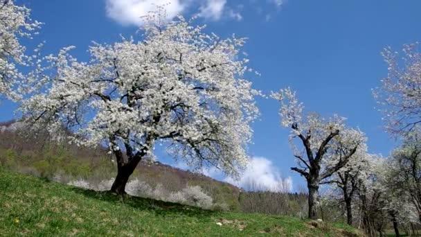 třešňové stromy na jaře
