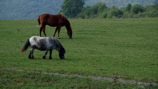 kůň a pony