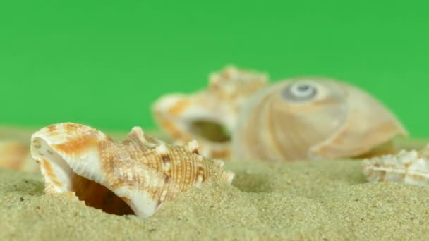 shell on beach with green screen 4k Footage