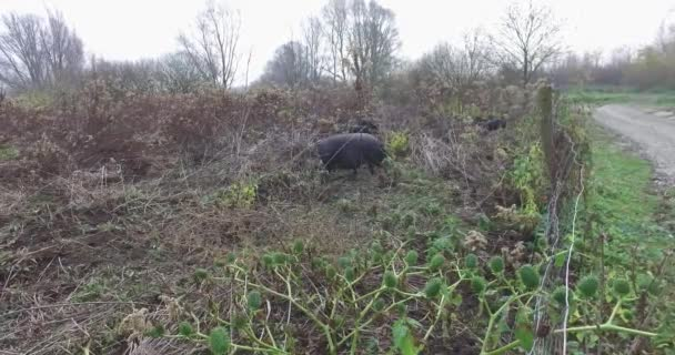 Black pigs in a fenced field, a special breed of pig. They dig the ground with little pigs.