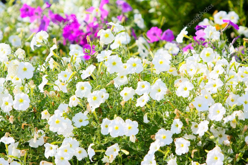 Many White Flowers Landscape Buds Beautiful Flower Bed Blurred Focus