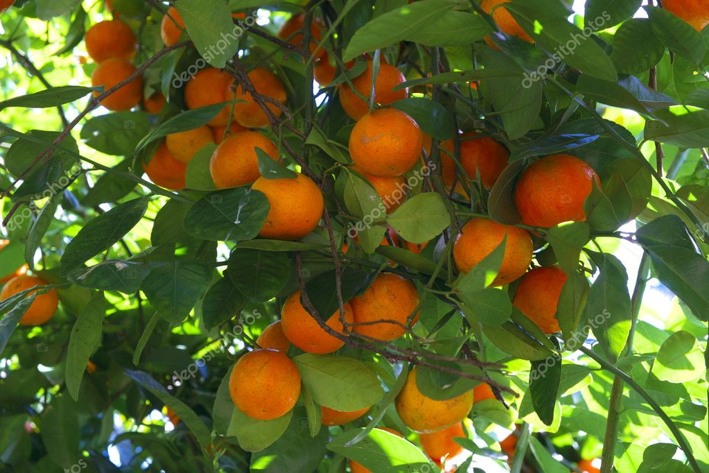 mandarins growing on a bush in new south wales