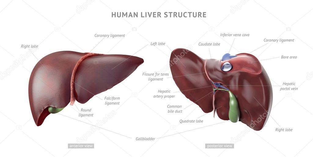 Human Liver Anatomy Stock Photo Eranicle 81680950