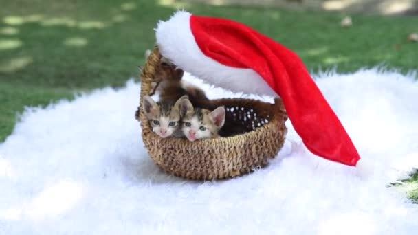 Niedliche Kätzchen sitzen in einem weihnachtlich dekorierten Weidenkorb. flauschige Kätzchen blicken aus dem mit Neujahr dekorierten Korb in die Kamera und versuchen herauszukommen