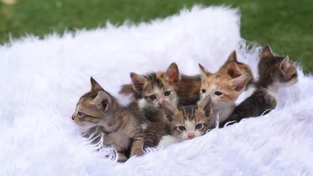 Cute kittens sit in a basket with white fur and follow the movements, cute eared babies cat look at the camera. 6 affectionate kittens sit on a white fur bed
