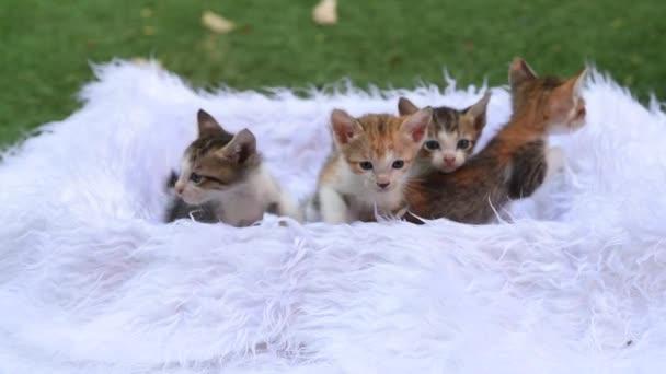 Roztomilá koťátka sedí v koši s bílou srstí a sledují pohyby, roztomilá ušatá koťátka se dívají do kamery. 6 láskyplných koťátek sedí na bílém kožešinovém lůžku