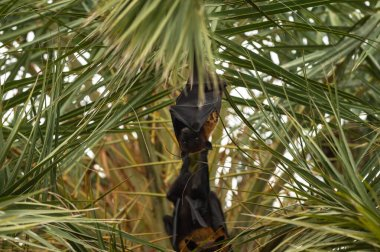 indian flying fox or greater indian fruit bat close up image hanging from tree with eyes open at forest of central india - Pteropus giganteus
