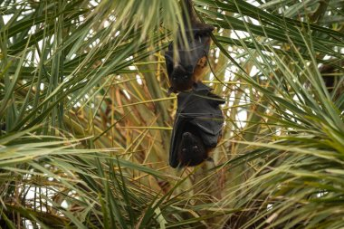 indian flying fox or greater indian fruit bat portrait hanging from tree with eyes open at forest of central india - Pteropus giganteus