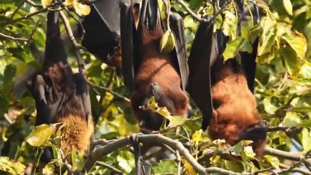 Nahaufnahme von indischen Flughund oder größere indische Fruchtfledermaus hängen am Baum im Keoladeo Nationalpark oder Bharatpur Vogelschutzgebiet Rajasthan Indien - Pteropus giganteus