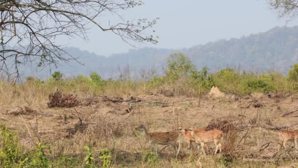 Wide shot of Spotted deer or Chital with family giving continuous alarm or warning calls in scenic landscape of dhikala zone of jim corbett national park or tiger reserve uttarakhand India - axis axis
