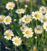 Spring chamomile background