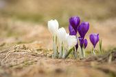 Bílá a fialová jarní květiny