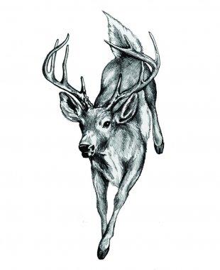 Whitetail Deer illustration