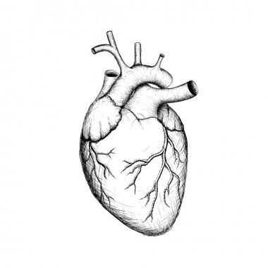 Human heart. Internal organs. Anatomy