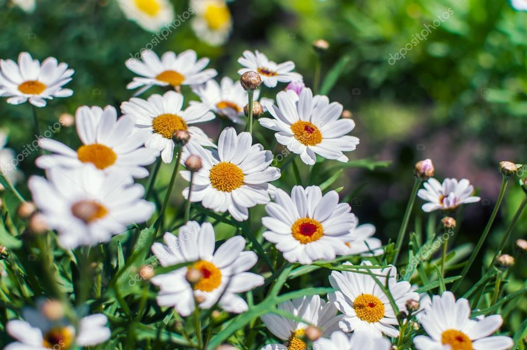 Белые ромашки цветы, растущие на лугу — Стоковое фото ...
