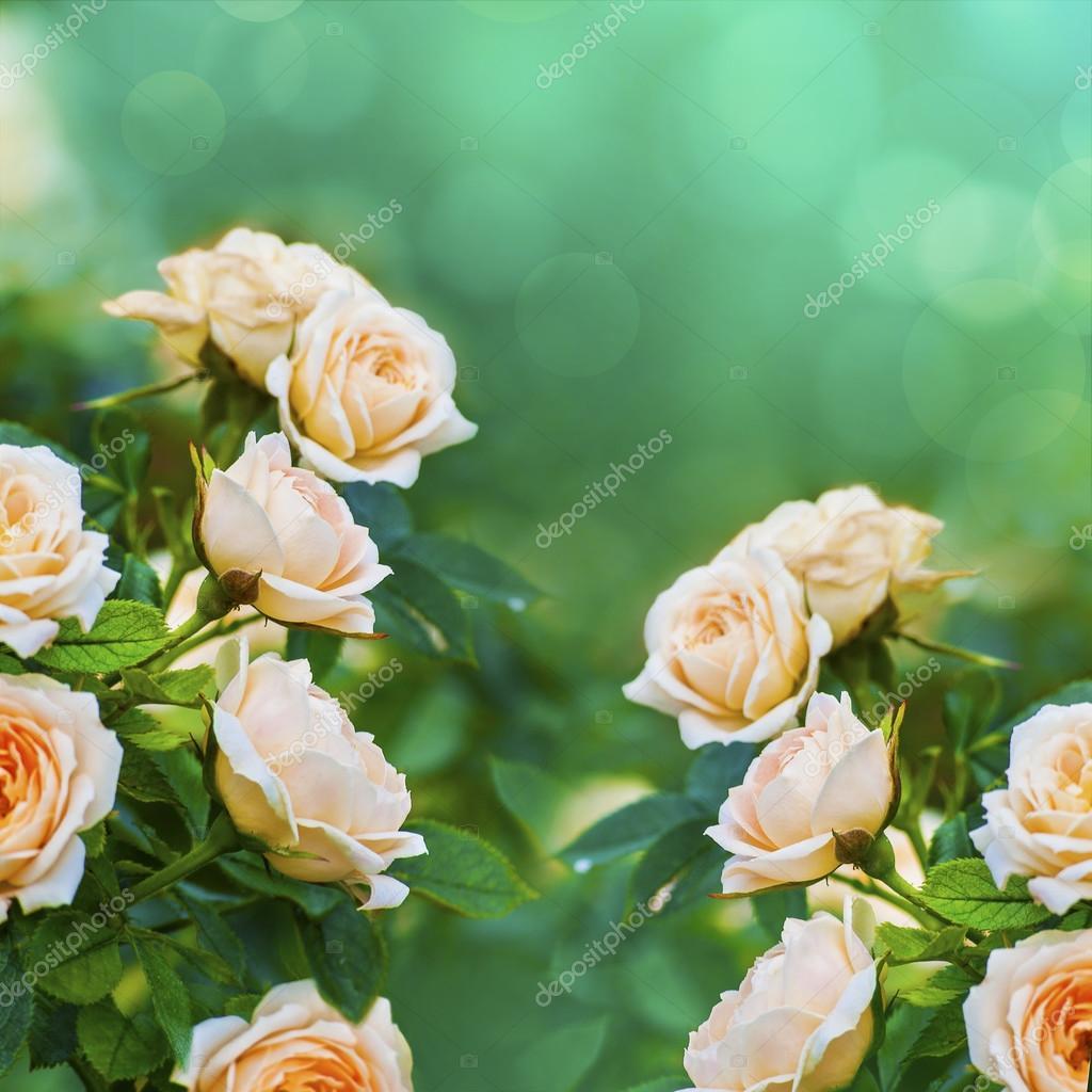 foto de Foto: rosa pesca Sfondo di rose color pesca Foto Stock