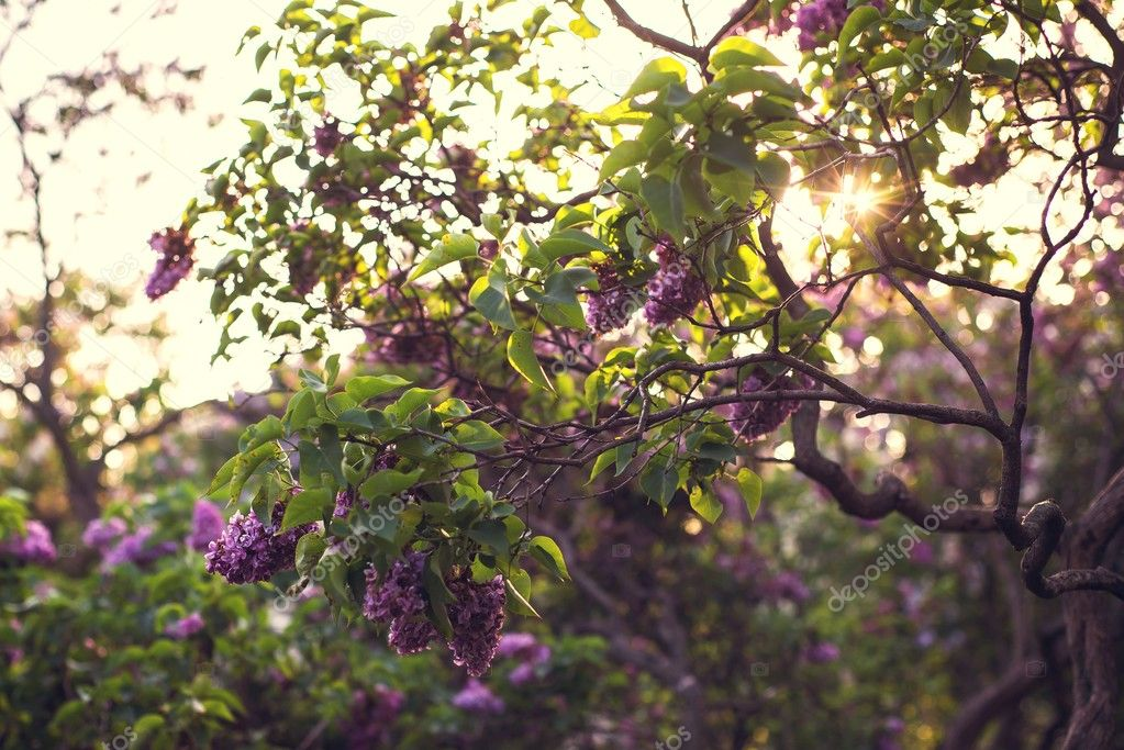 Flowering trees in the sunset on a summer day in Moscow