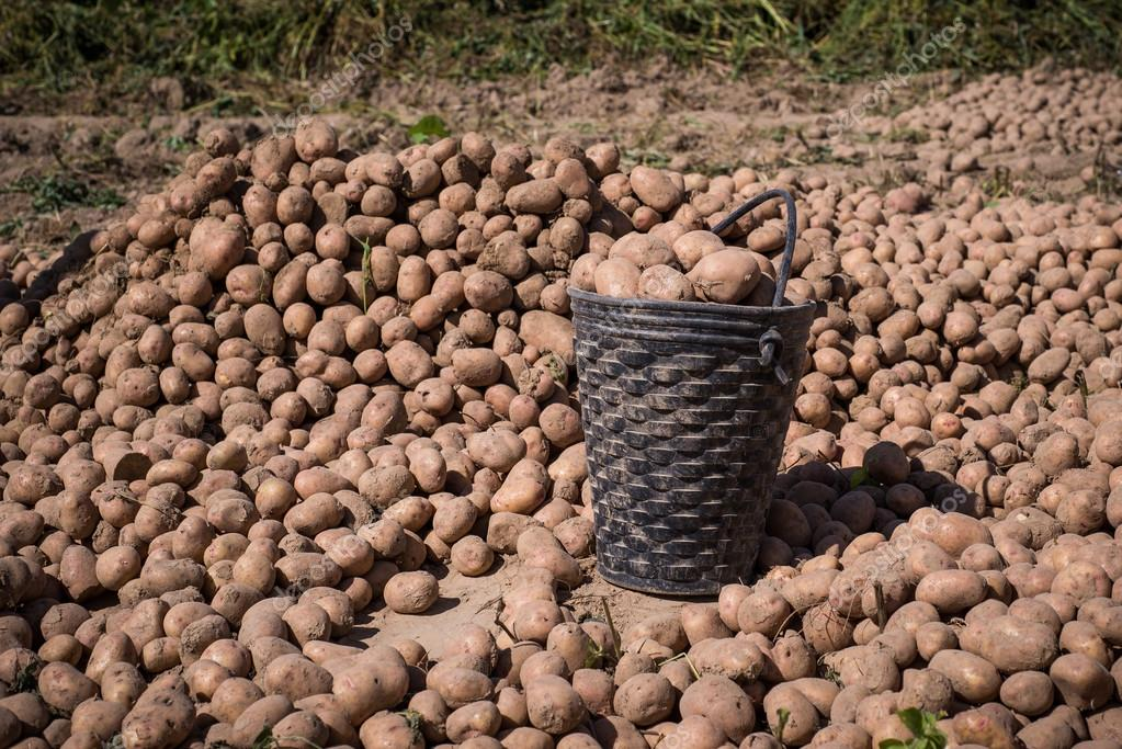 Harvest potatoes in buckets and bags in the field