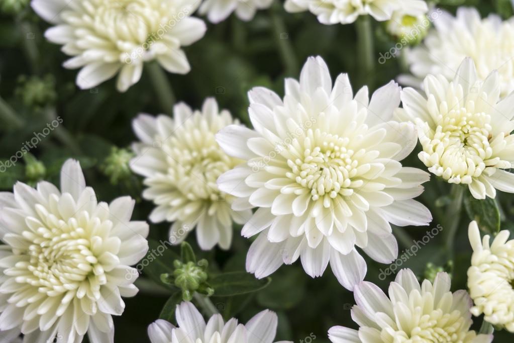 Closeup of white chrysanthemum flower stock photo jipen 58715473 closeup of white chrysanthemum flower in field photo by jipen mightylinksfo