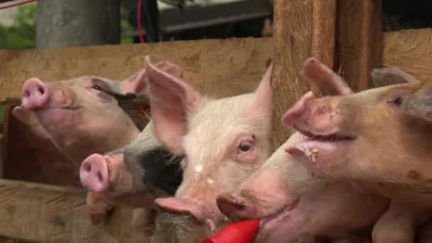 Schweine füttern auf der Farm