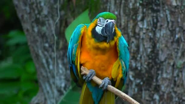Divoké papouška na okouna