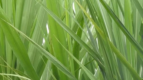 A cukornád növények levelei