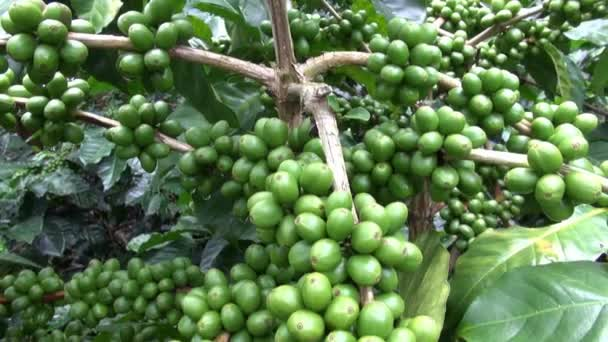 Kaffeepflanzen, Plantagen, Farmen, Natur